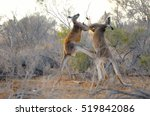 Two Big Male Red Kangaroos...