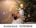 Stock photo happy new year christmas jack russell terrier holidays and celebration pet in the room the 519858868