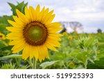 Sunflowers Garden. Sunflowers...