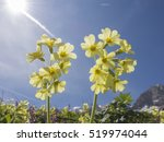 Primula Auricula  Often Known...