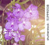 Small photo of Purple Vanda Orchids