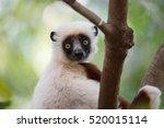 Portrait Of Endemic Lemur...