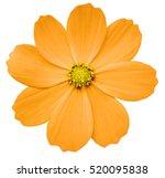 Orange Flower Primula.  White...