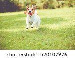 Stock photo cute dog playing with toy bone at sunny summer day 520107976
