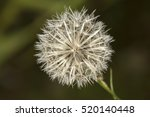 White Common Dandelion  ...