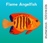 flame angelfish  exotic fish... | Shutterstock .eps vector #520146106
