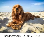 Dog Relaxing In The Sand And A...