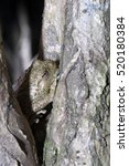 Small photo of Rare frog Mantidactylus Paulian, hiding in a tree, Nosy Mangabe, Madagascar