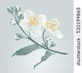 twig jasmine flower and buds...   Shutterstock .eps vector #520199863