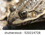 Balkan Frog  Pelophylax...
