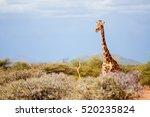 Single Giraffe Looking Over Th...