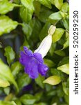 Small photo of Bush clockvine or king's mantle, Thunbergia erecta, flower of the Acanthaceae family originating in Tropical Africa - Sao Paulo, SP, Brazil - August 21, 2011