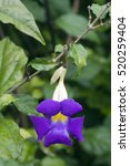 Small photo of Bush clockvine or king's mantle, Thunbergia erecta, flower of the Acanthaceae family originating in Tropical Africa - Sao Paulo, SP, Brazil - December 27, 2011
