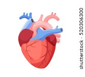 anatomical heart isolated.... | Shutterstock .eps vector #520306300