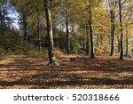 danish colorful autumn beech... | Shutterstock . vector #520318666