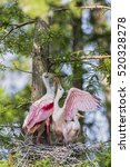 Roseate Spoonbill Feeding Its...