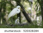 Great White Egret Mother Stand...
