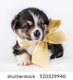 corgi puppies corgi studio... | Shutterstock . vector #520329940