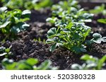 young potato plant growing on... | Shutterstock . vector #520380328