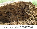 termite nest cross section in... | Shutterstock . vector #520417564