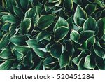 hosta foliage background. | Shutterstock . vector #520451284
