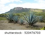 agave tequila landscape to... | Shutterstock . vector #520476703