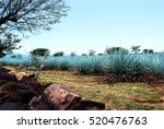 agave tequila landscape to... | Shutterstock . vector #520476763