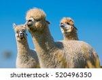 alpacas | Shutterstock . vector #520496350