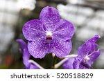 Beautiful Purple Flower Orchid...