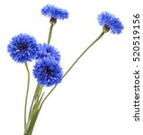 Stock photo blue cornflower herb or bachelor button flower bouquet isolated on white background cutout 520519156