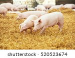 young piglet on hay at pig farm | Shutterstock . vector #520523674
