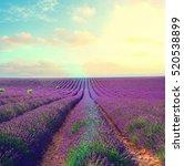 lavender flowers field rows... | Shutterstock . vector #520538899