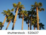 Wahingtonia Palms In San Diego...