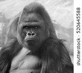 Bust Portrait Of A Gorilla Mal...