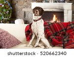 English Pointer Dog At Home