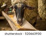 sheep eating corn fodder | Shutterstock . vector #520663930