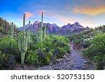 Blooming Saguaros At Sunrise ...
