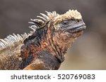 Portrait Of Marine Iguana On...
