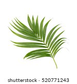 green leaves of palm tree... | Shutterstock . vector #520771243