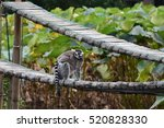 Lemur Walking On The Wooden...