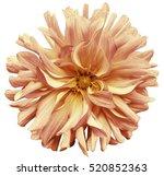autumn big flower yellow pink... | Shutterstock . vector #520852363