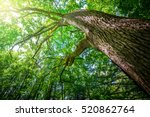 forest trees. nature green wood ... | Shutterstock . vector #520862764