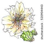 yellow cactus flower blossom.... | Shutterstock . vector #520904443