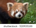 Red Panda While Looking At You