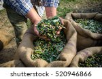 agriculturist keeps in his... | Shutterstock . vector #520946866