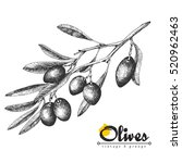 big olive branch sketch vector... | Shutterstock .eps vector #520962463