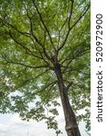 green sapium sebiferum tree... | Shutterstock . vector #520972900