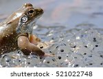 European Common Brown Frog ...