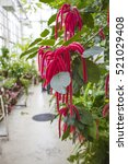 Acalypha Red Flowers In Botani...