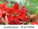 Amaryllis Hippeastrums Flower